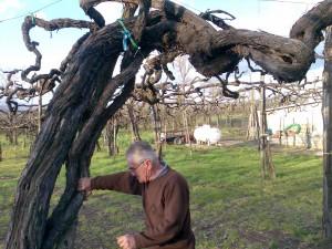 """Vite pluricentenaria di Aglianico allevato alla """"taurasina"""""""
