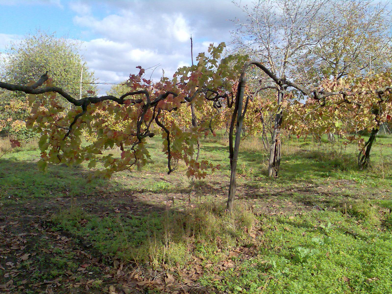 Antico sistema di allevamento tipico dell'area taurasina.
